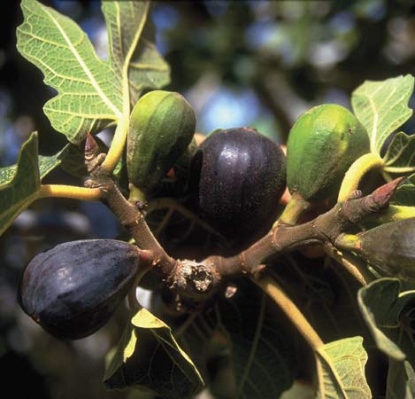 Discipleship and the Fig Tree | Messianic Jewish Musings